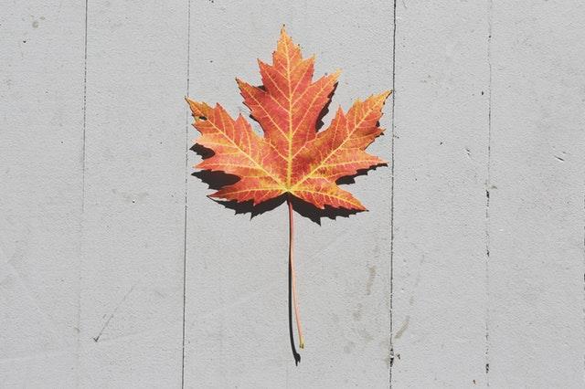Fall Autumn Leaf Maple Canada